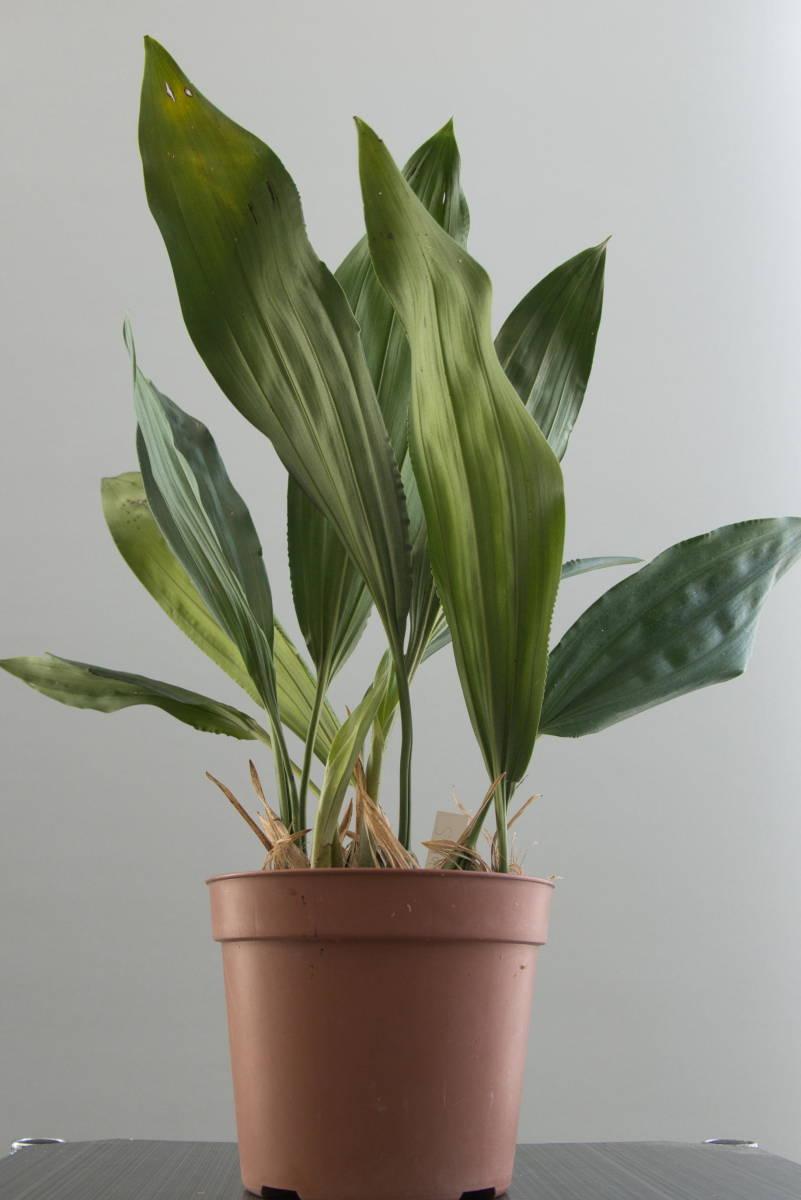 原種洋蘭 Stanhopea martiana