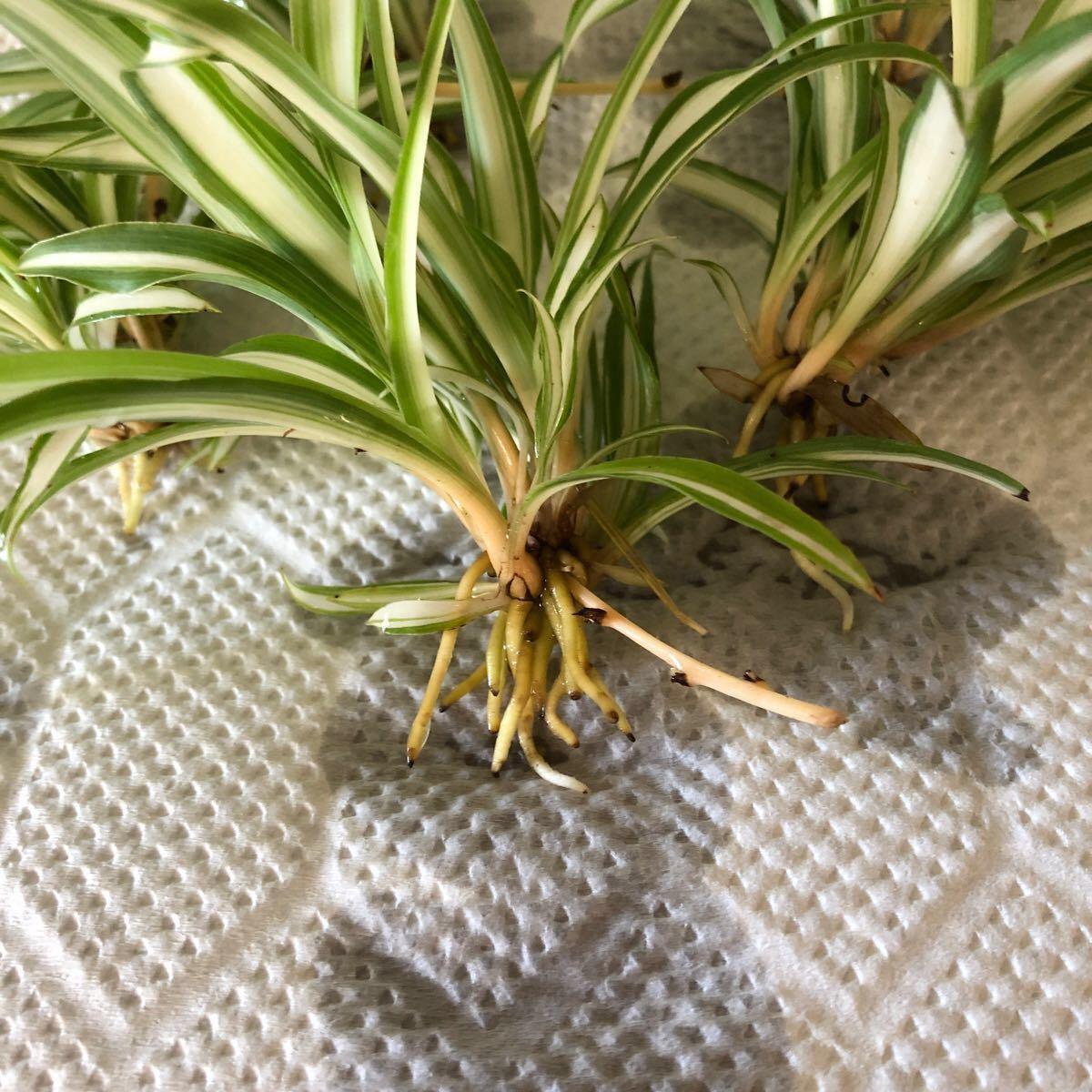 オリヅルラン 観葉植物 5株 アイビー(へデラ)
