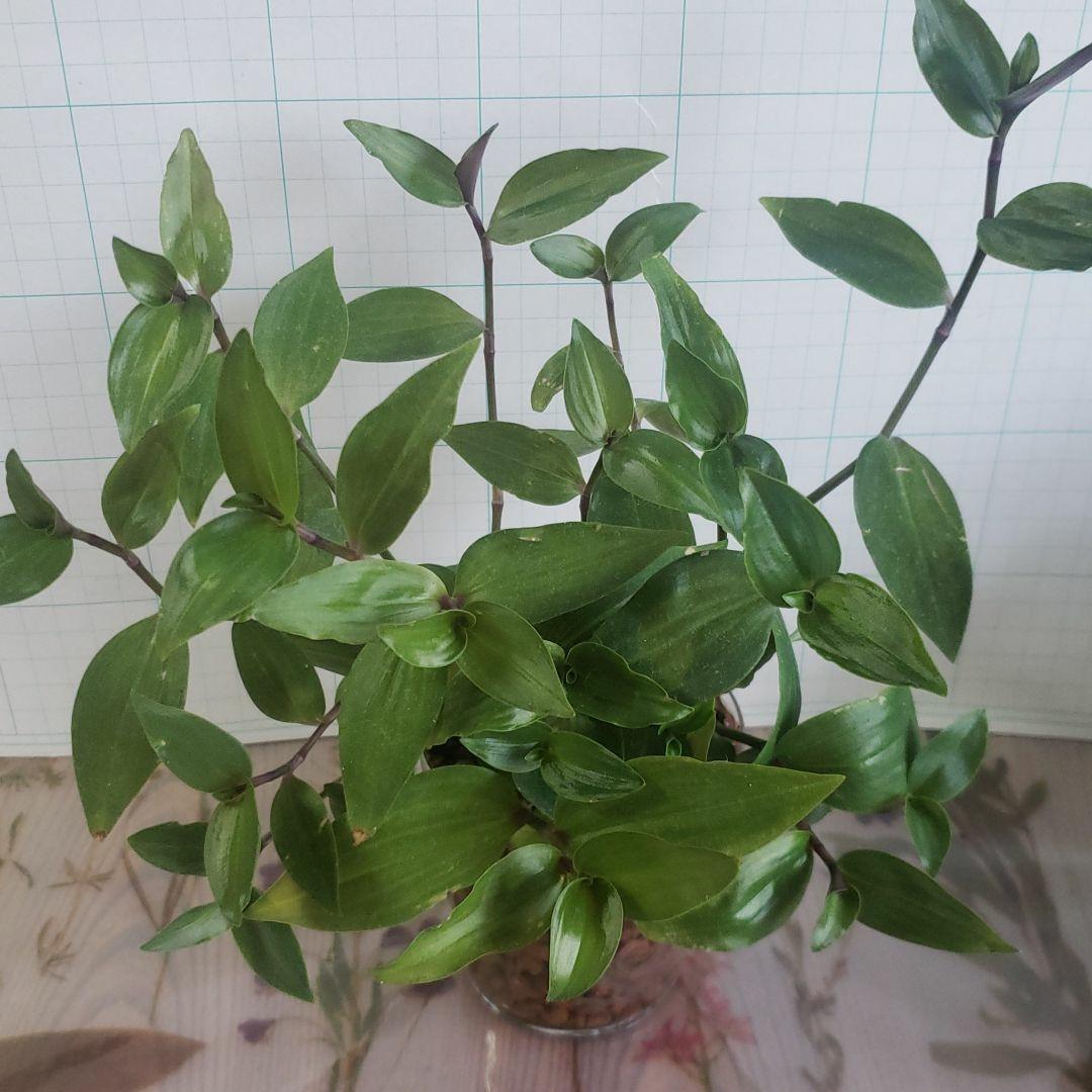 観葉植物 トラディスカンチア 抜き苗