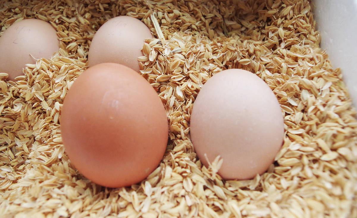 プリマスロック有精卵6つ_卵は色々です