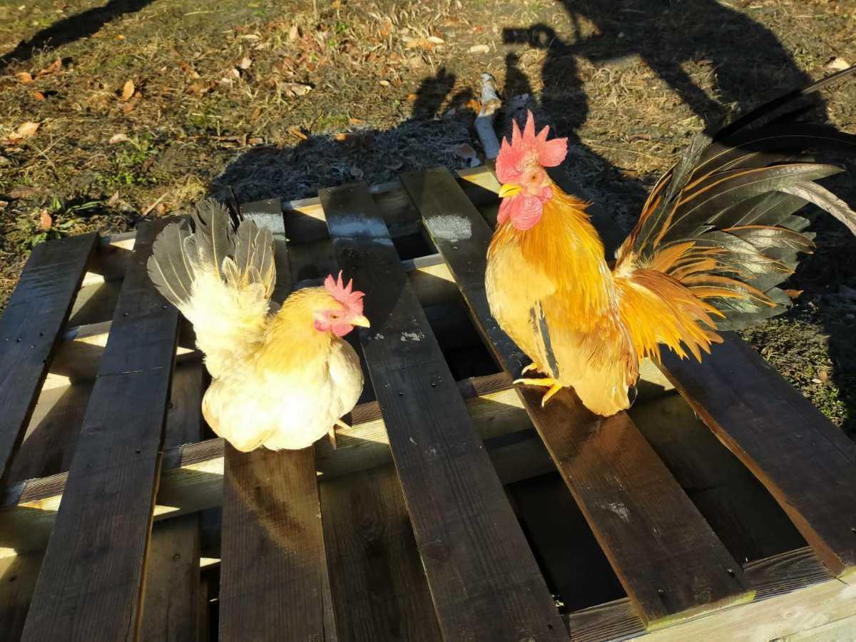 鶏 チャボの種卵 有精卵7個 ニワトリ_画像2