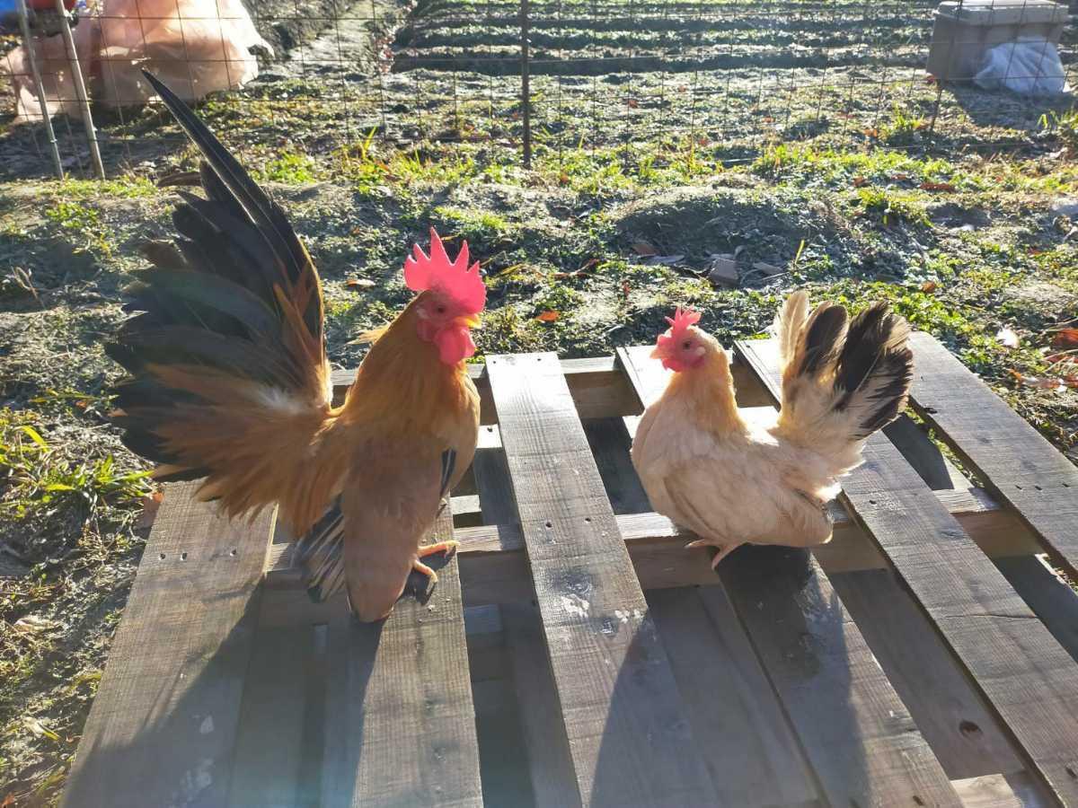 鶏 チャボの種卵 有精卵7個 ニワトリ_画像1