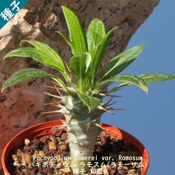 多肉植物 塊根植物 種子 種 Pachypodium Lamerei var. Ramosum パキポディウム ラモスム マダガスカル 種子 10粒_画像1