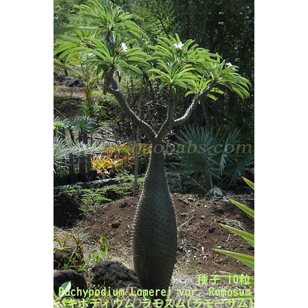 多肉植物 塊根植物 種子 種 Pachypodium Lamerei var. Ramosum パキポディウム ラモスム マダガスカル 種子 10粒_画像3