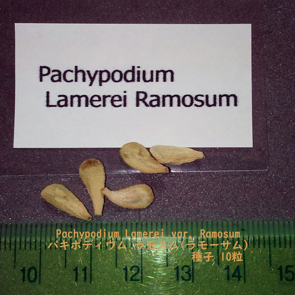 多肉植物 塊根植物 種子 種 Pachypodium Lamerei var. Ramosum パキポディウム ラモスム マダガスカル 種子 10粒_画像2