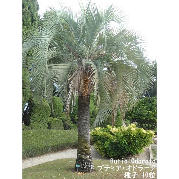 観葉植物 種子 種 Butia Odorata ブティア オドラータ ブラジル椰子 ゼリーパーム 種子10粒_画像3