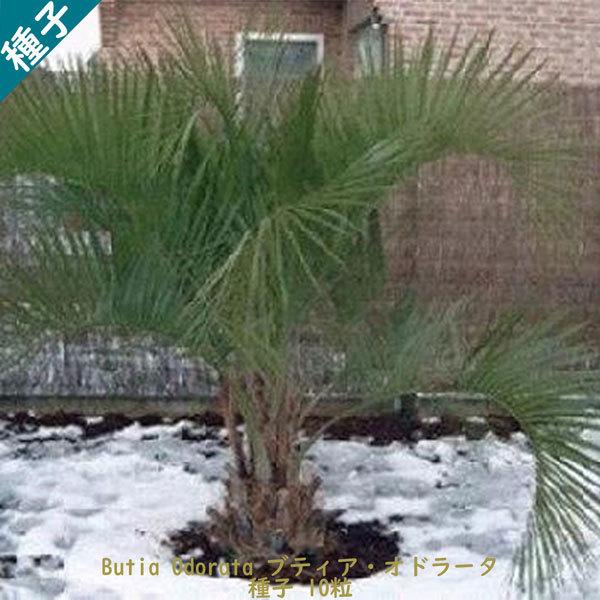 観葉植物 種子 種 Butia Odorata ブティア オドラータ ブラジル椰子 ゼリーパーム 種子10粒_画像1