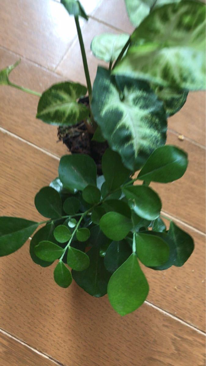 観葉植物2セット