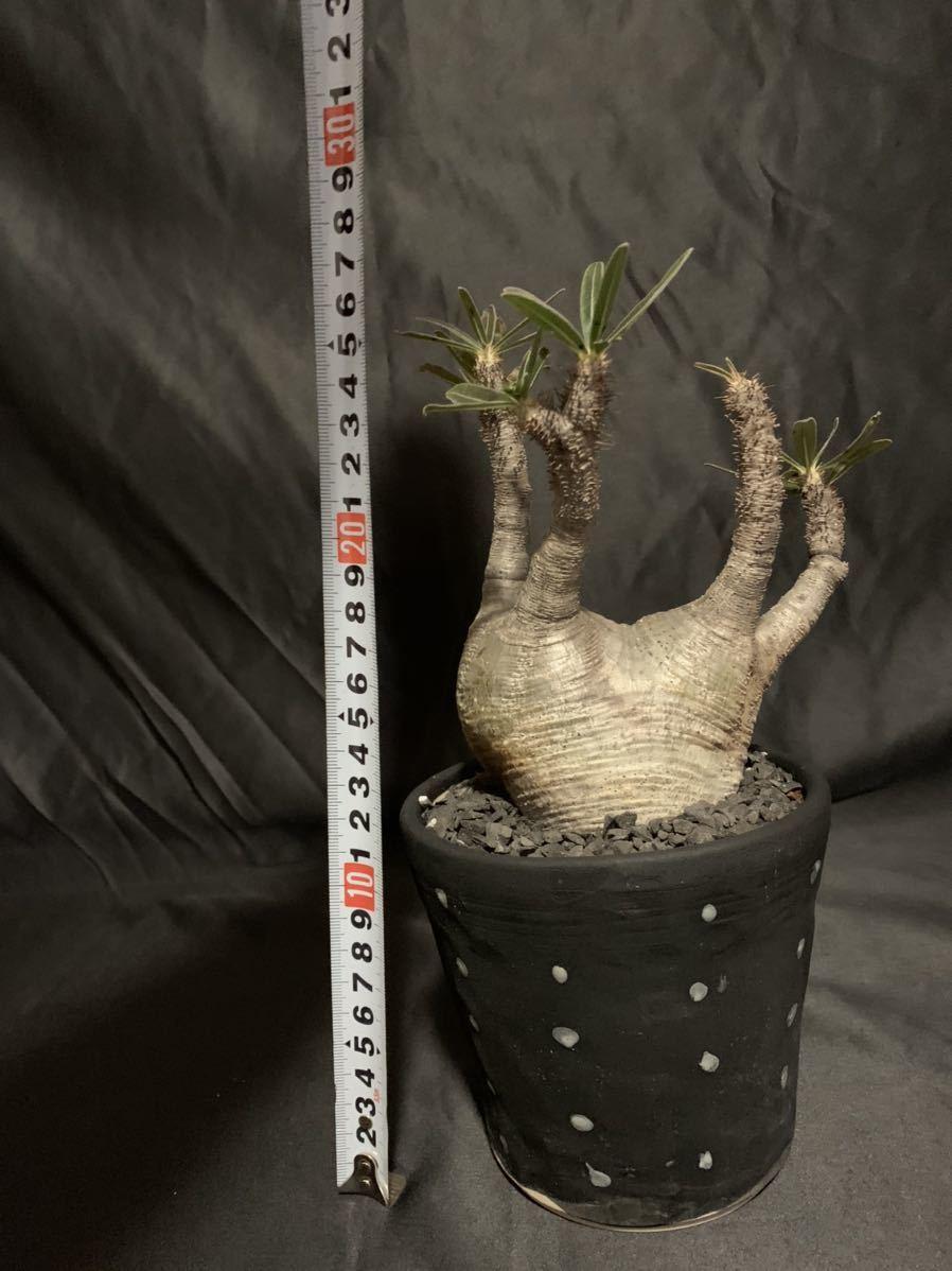 Pachypodium rosulatum var. gracilius パキポディウムグラキリス 双頭 塊根植物 コーデックス _画像3