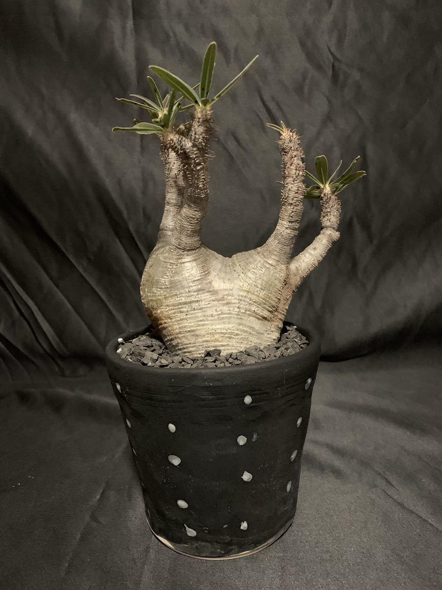 Pachypodium rosulatum var. gracilius パキポディウムグラキリス 双頭 塊根植物 コーデックス _画像2