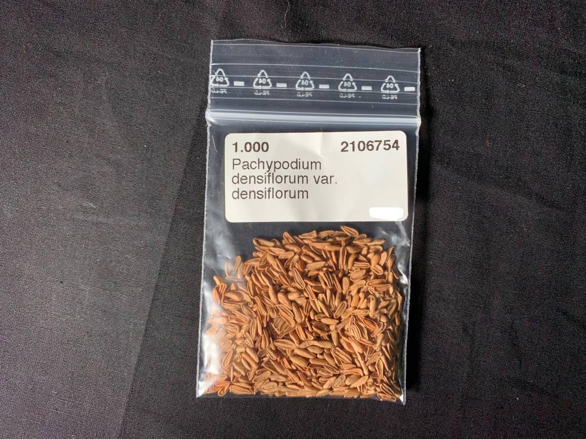 【送料無料】種子20粒 パキポディウム デンシフローラム(シバの女王の玉櫛)No.1_画像1