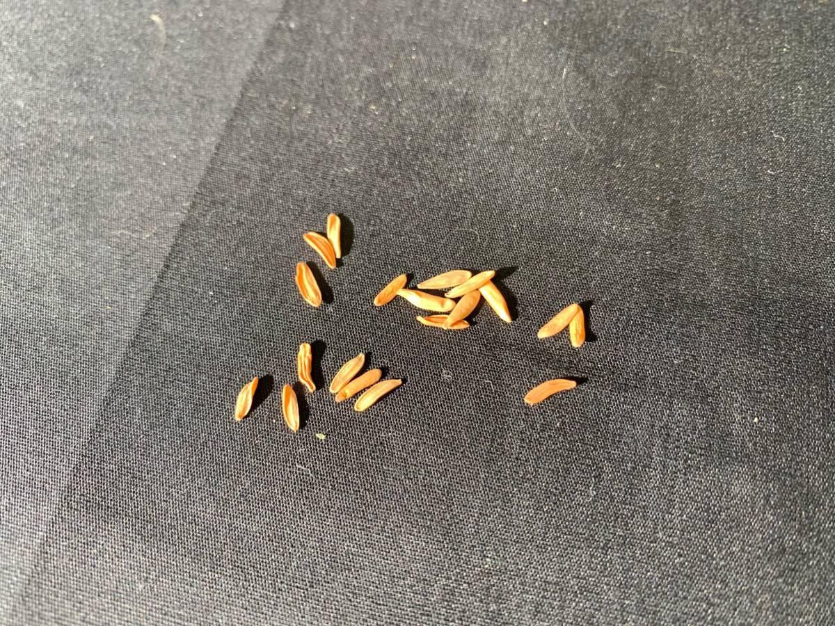 【送料無料】種子20粒 パキポディウム ロスラーツムカクチペス No.2_画像3