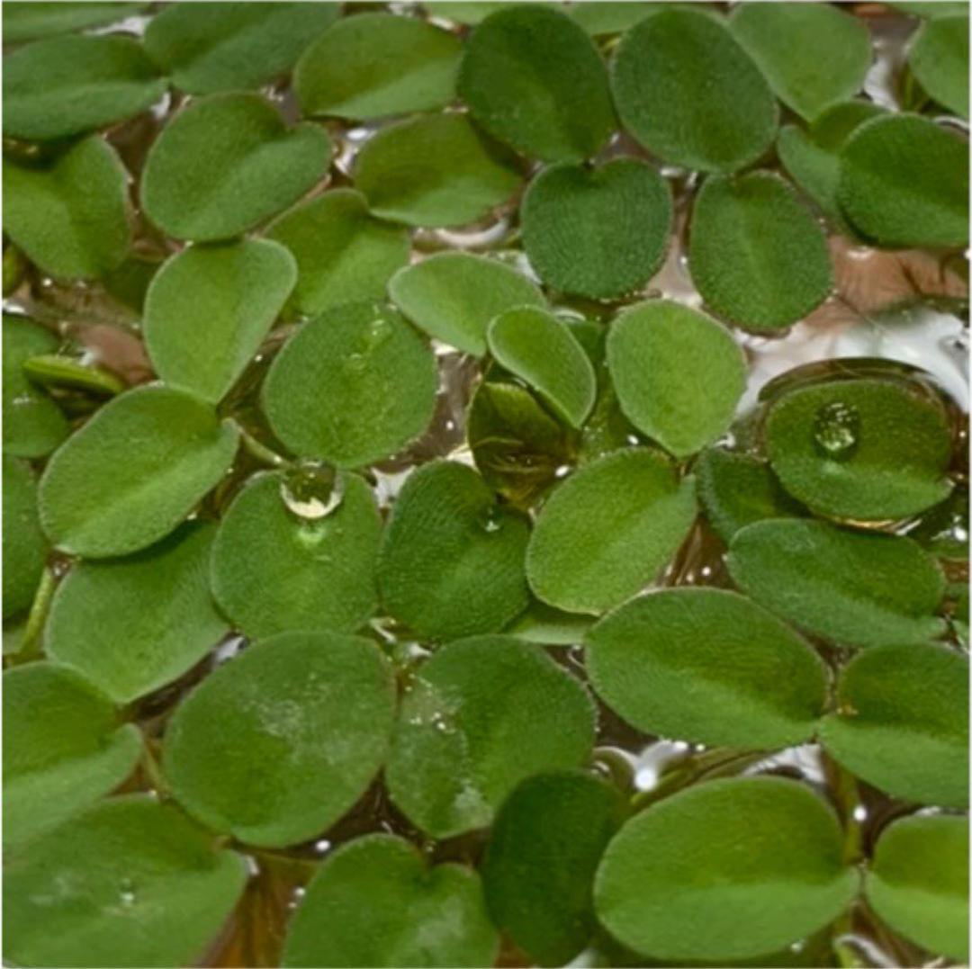 【増量お得!!】水草 浮き草 状態良好 サルビニア ククラータ メダカ フロッグ_画像2