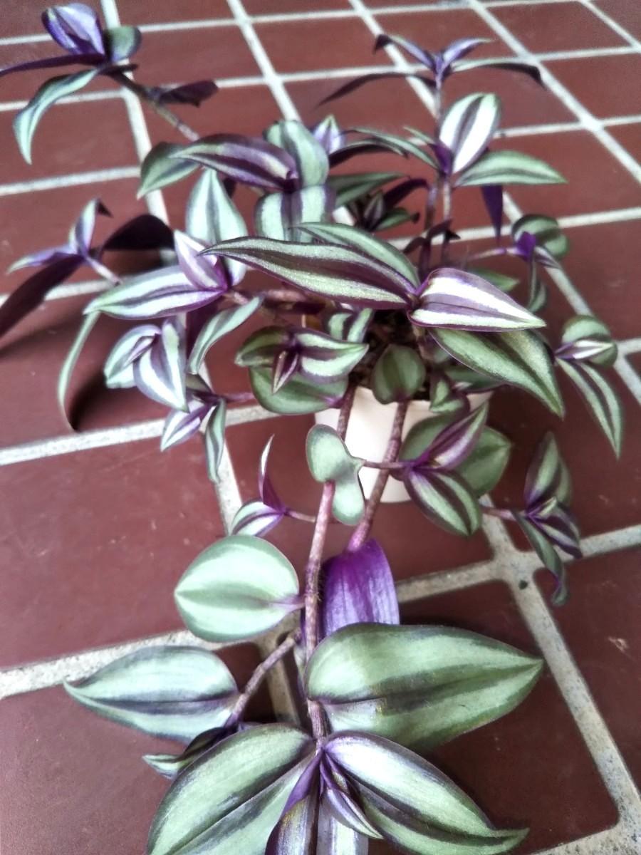 トラデスカンチアサブリナ抜き苗