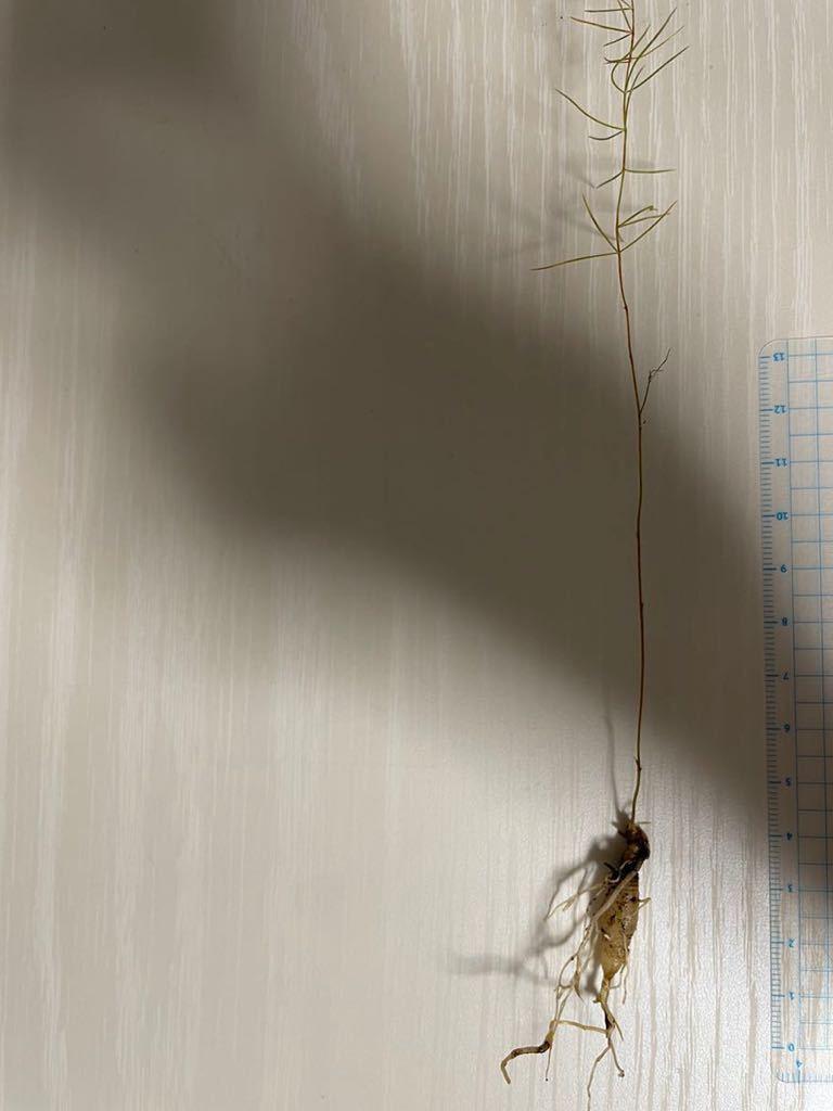 キジカクシ科 Asparagus horridus ex.Mallorca マヨルカ島の原種アスパラガス 実生苗 塊根植物 多肉植物_画像1