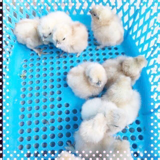 (即決)12個格安!純粋モコモコ烏骨鶏 有精卵_画像3