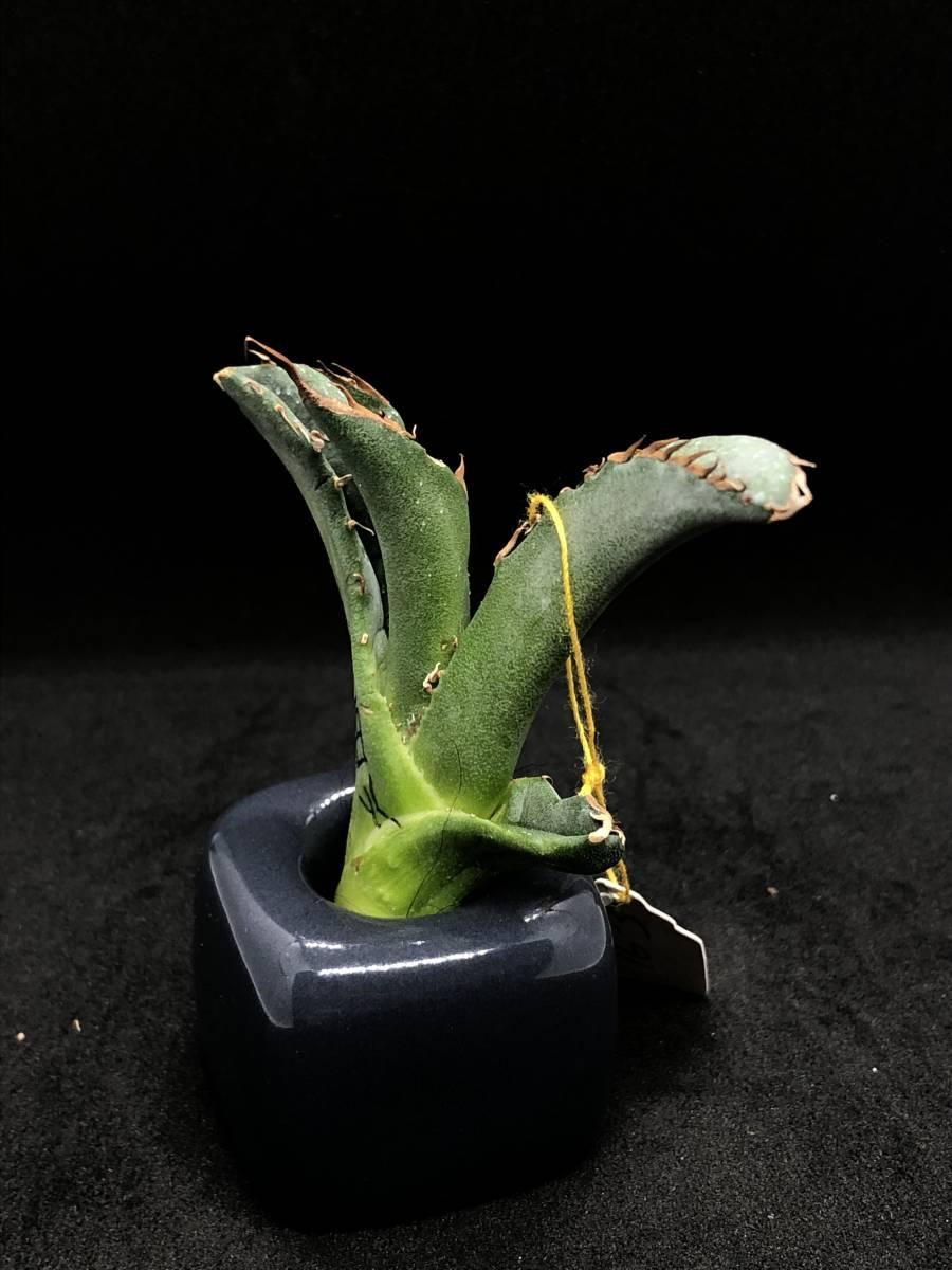 16-3 特選子株! アガベ チタノタ 多肉植物 白火焔 ホワイトファイヤー agave titanota white fire_画像7