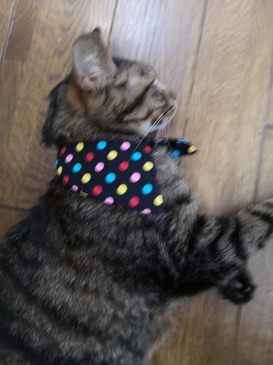 猫 首輪 付け襟 水玉 黒