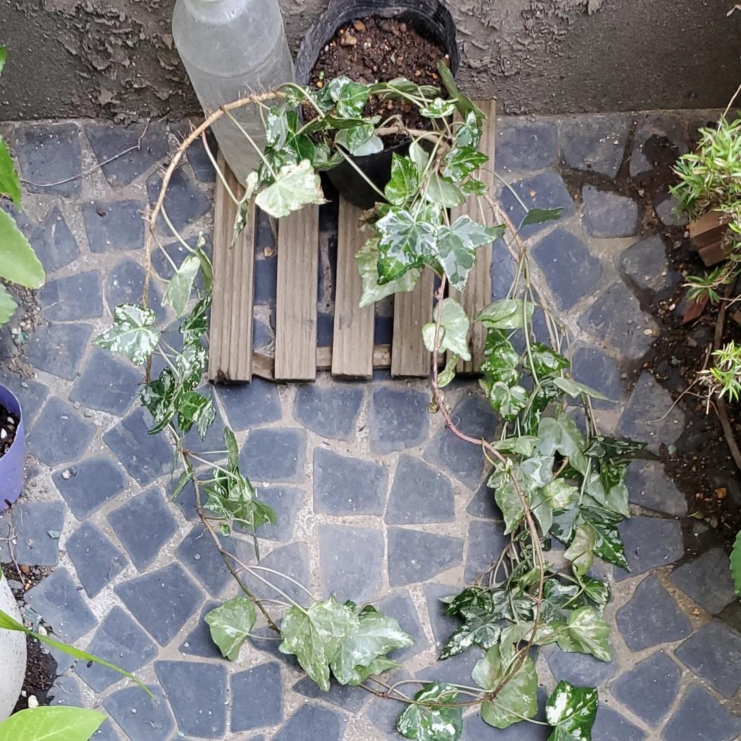 斑入り『イングリッシュアイビー・ヘデラ』現品 5号ポット苗 抜き苗 観葉植物
