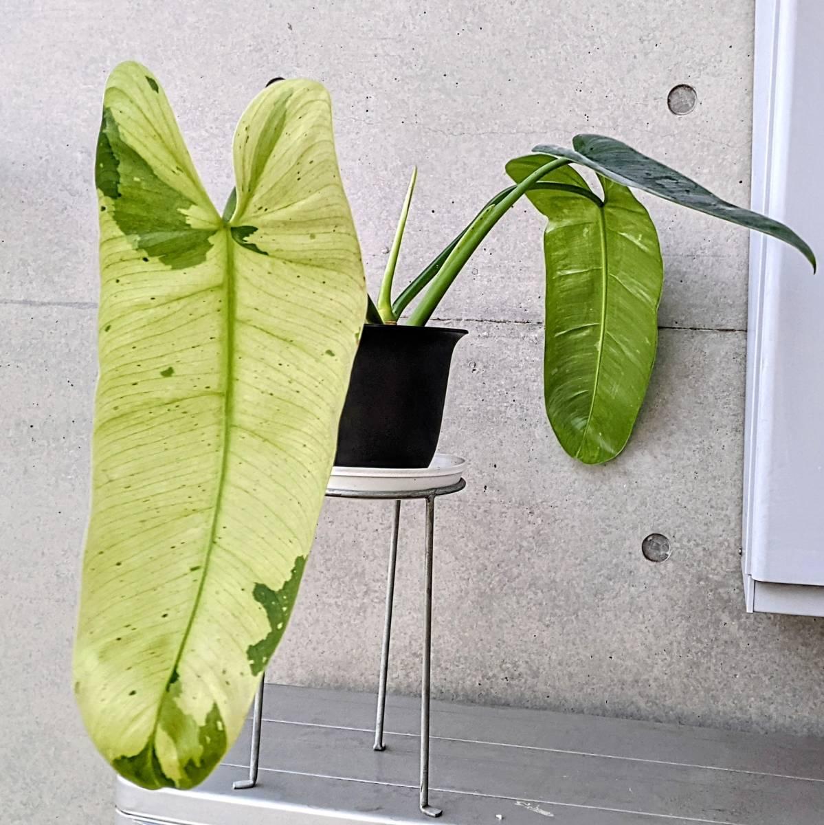 大形になるフィロデンドロン・インベの斑入り Philodendron imbe 'Variegata' レア 観葉植物