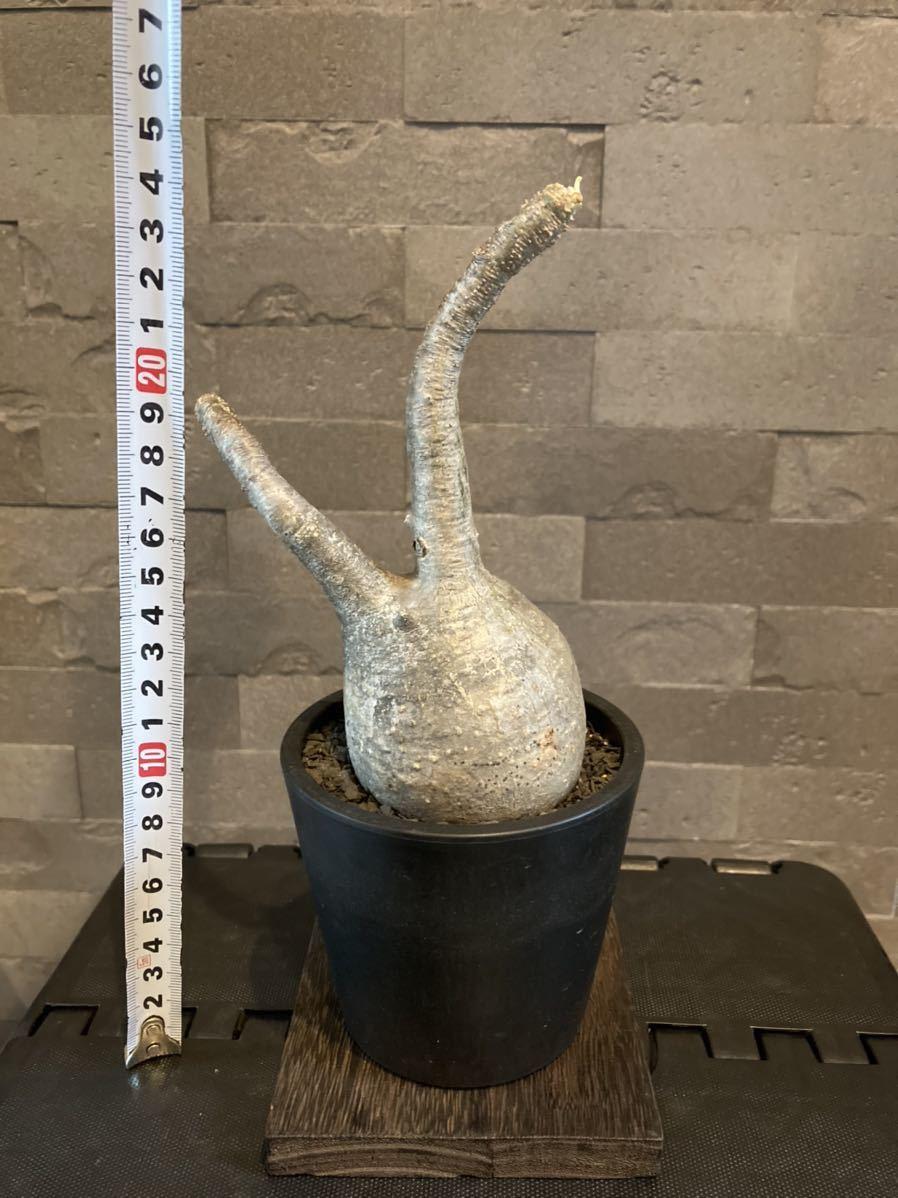 パキポディウム グラキリス Pachypodium gracilius 現地球_画像8