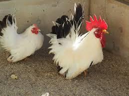 大冠鶏チャボ(肥後チャボ)の有精卵5個_画像3