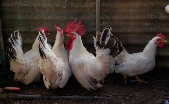 大冠鶏チャボ(肥後チャボ)の有精卵5個_画像2
