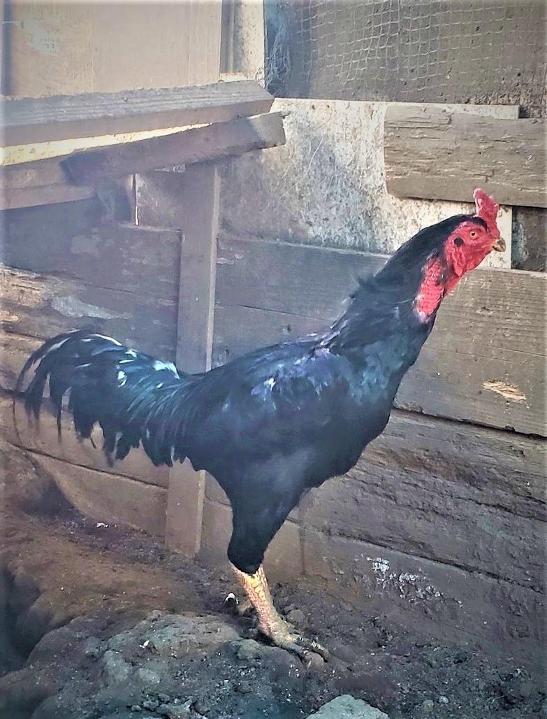 黒種大軍鶏の種卵(有精卵)5個_画像10