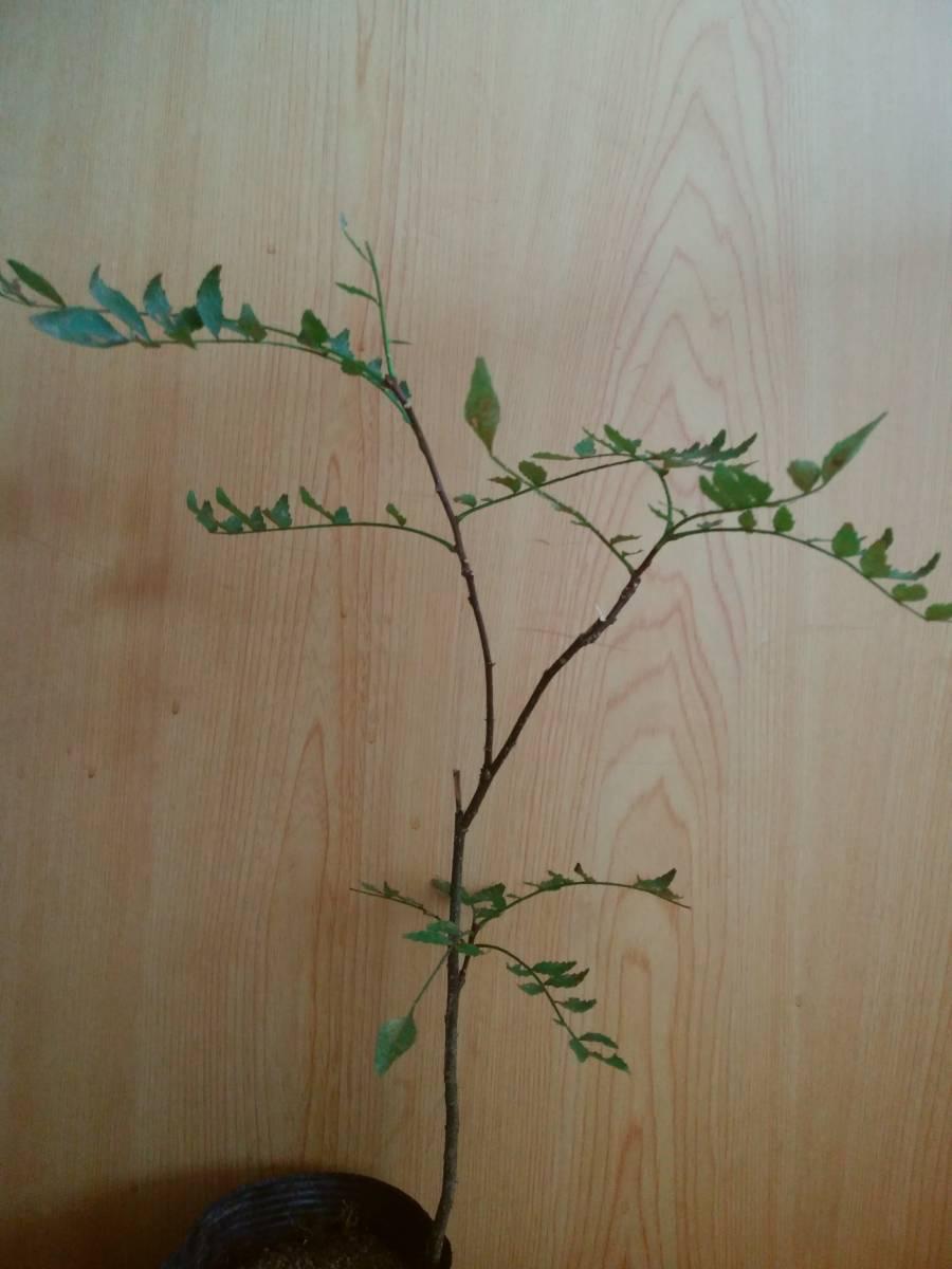山椒の木 _画像1