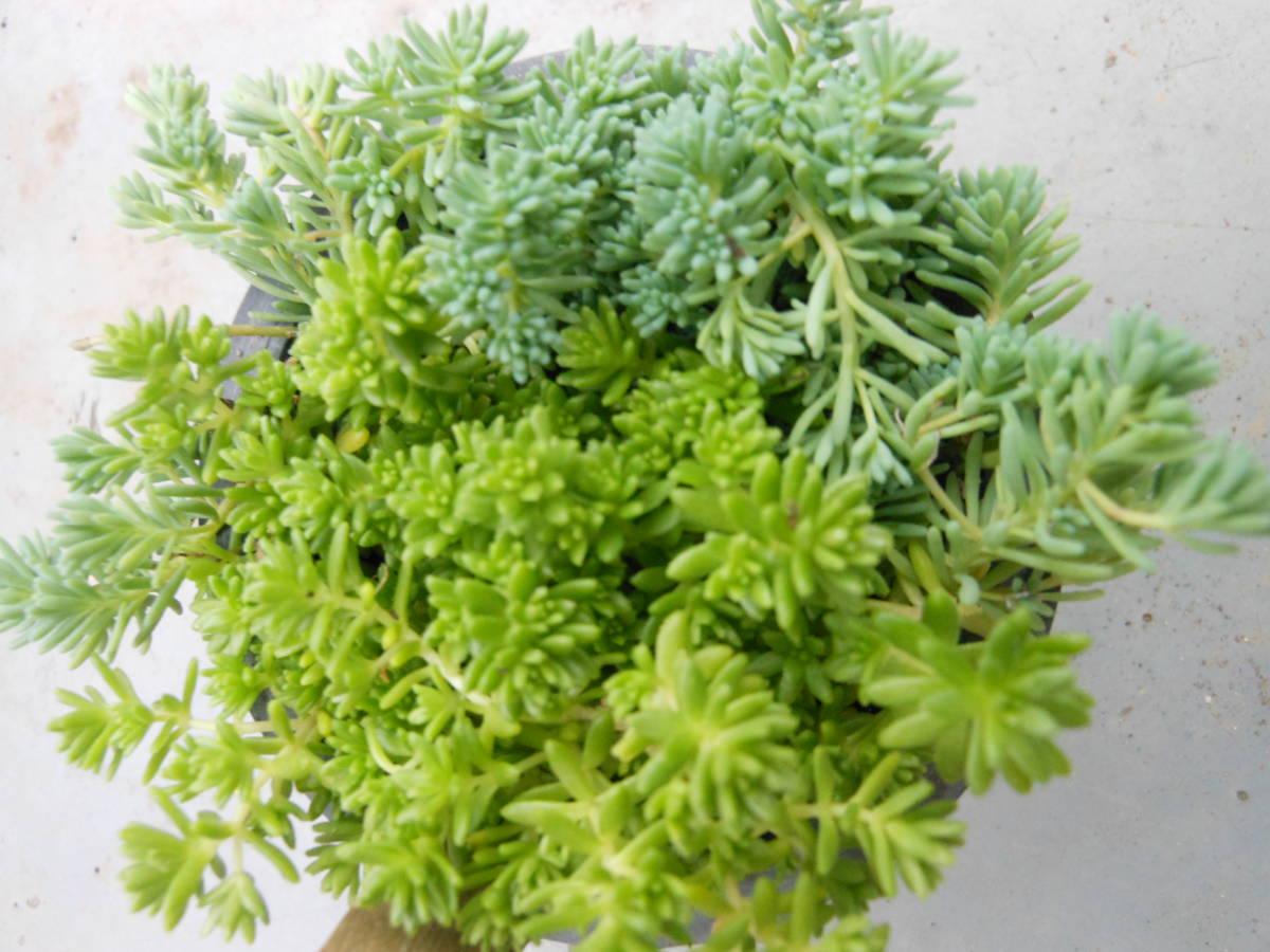 多肉植物★セダム グランドカバー 寄せ植えに 抜き苗&カット苗 3_画像2
