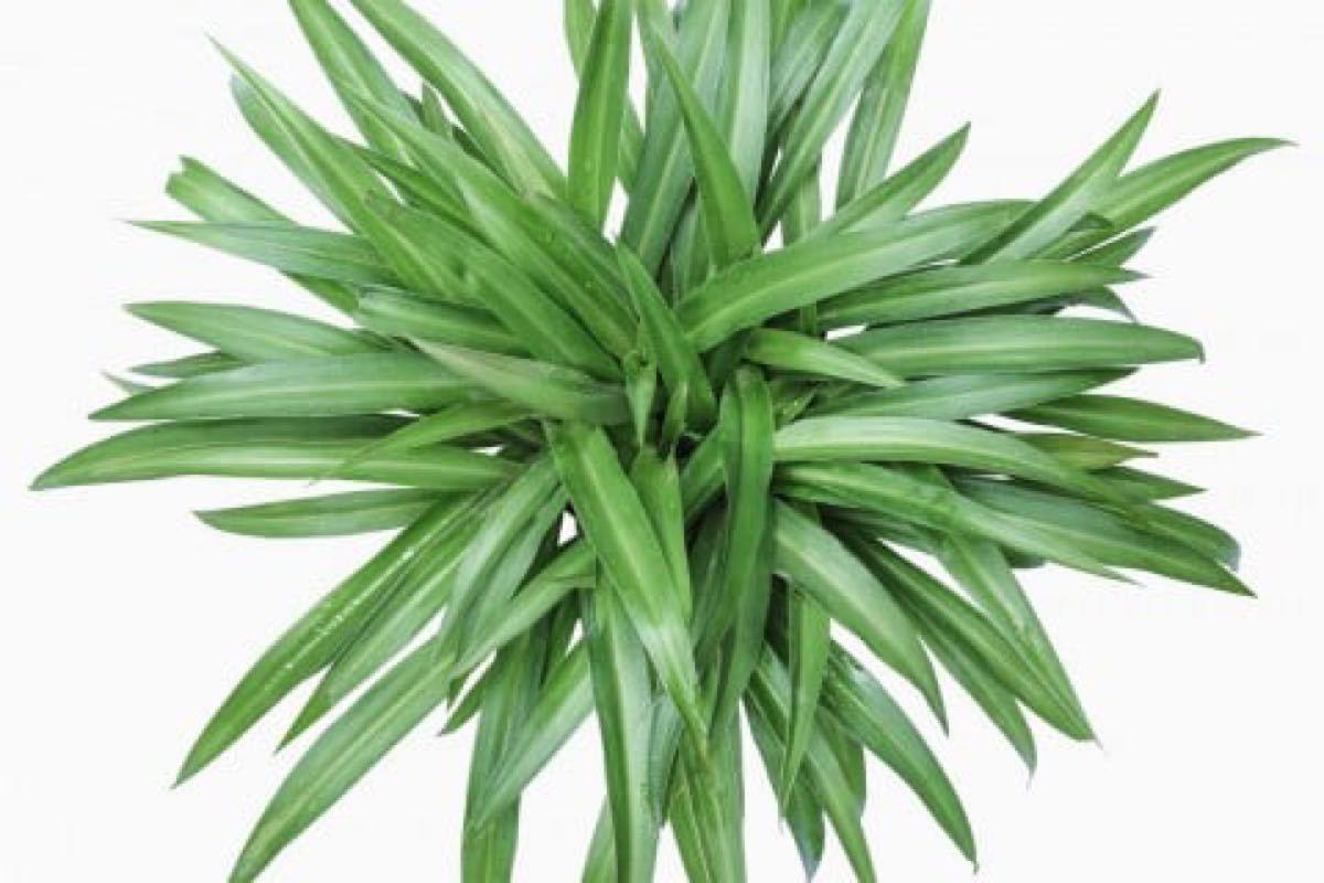 【数量限定】観葉植物 希少なアオオリヅルラン 抜き苗 1苗