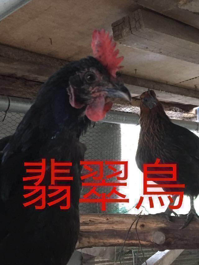 1.翡翠鳥 有精卵5個 プラス割れ保証1個_画像1