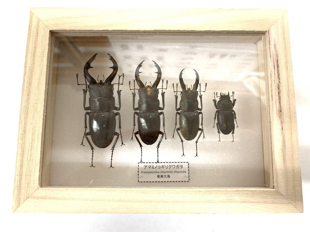 【展足済】アマミノコギリクワガタ 金粉個体 4頭セット♂67㎜59㎜49㎜♀29㎜【標本】_画像4