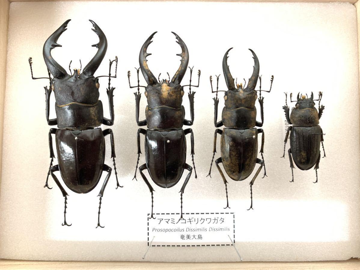 【展足済】アマミノコギリクワガタ 金粉個体 4頭セット♂67㎜59㎜49㎜♀29㎜【標本】_画像1