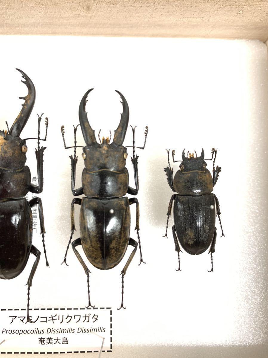 【展足済】アマミノコギリクワガタ 金粉個体 4頭セット♂67㎜59㎜49㎜♀29㎜【標本】_画像3