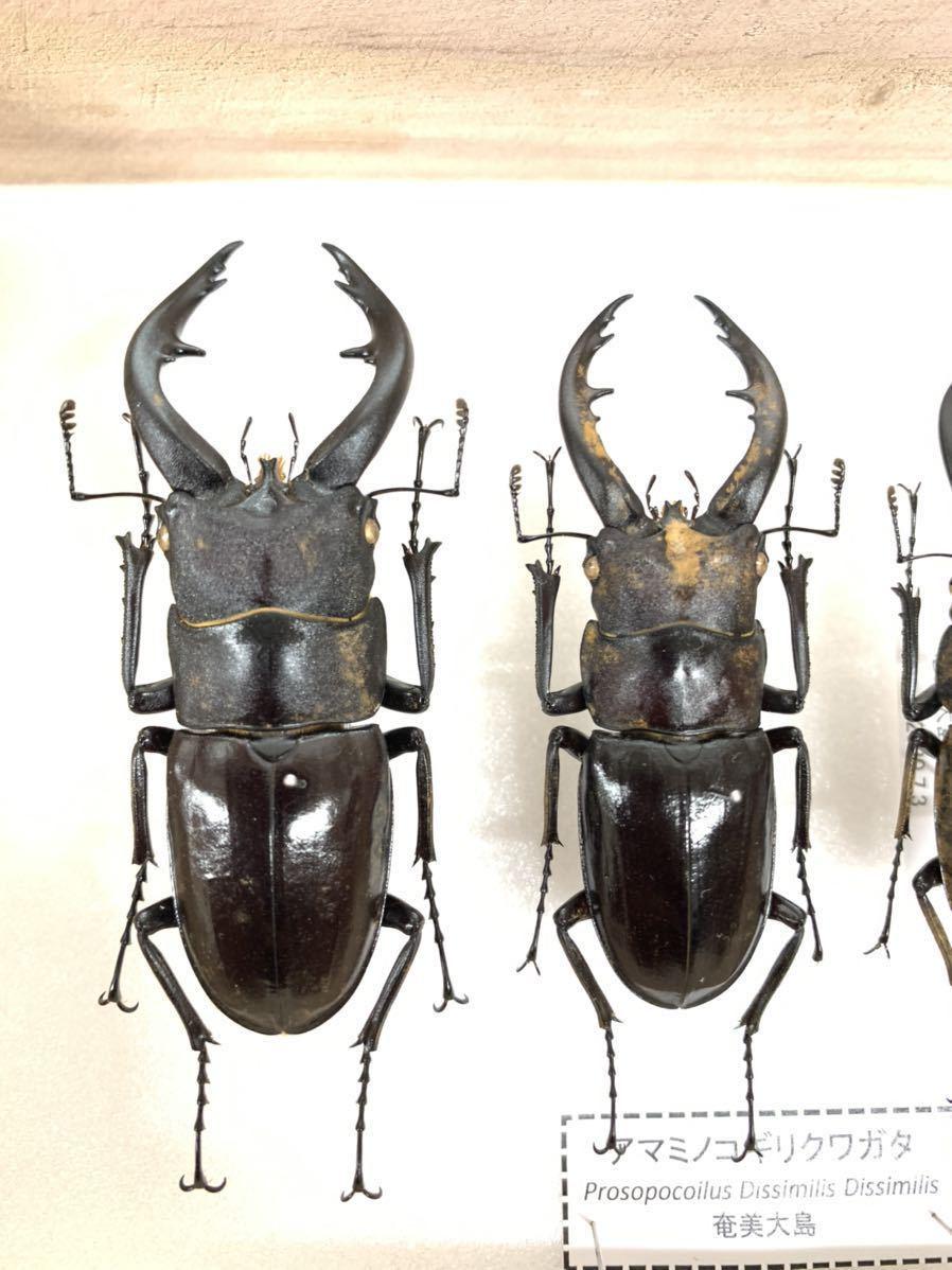 【展足済】アマミノコギリクワガタ 金粉個体 4頭セット♂67㎜59㎜49㎜♀29㎜【標本】_画像2