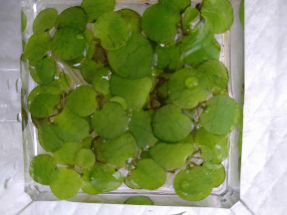 浮草 水草 アマゾンフロッグピット・サンショウモ・サルビニア3種セット_画像3