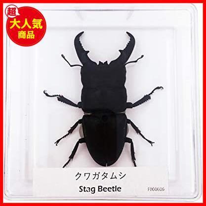 【送料無料】★色:Beetle_Stag1★ 実物大クワガタムシ 昆虫標本 子ども向け 科学STEM教育 ギフト_画像2