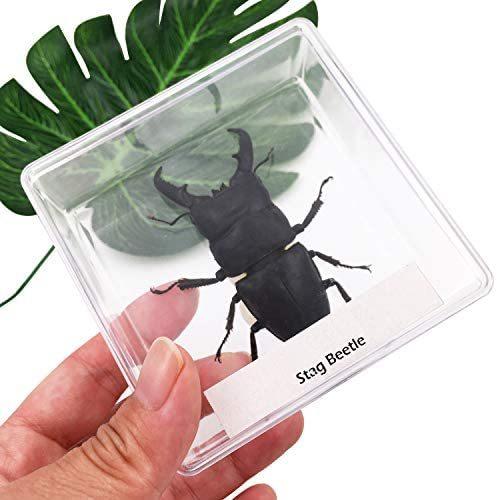 【送料無料】★色:Beetle_Stag1★ 実物大クワガタムシ 昆虫標本 子ども向け 科学STEM教育 ギフト_画像5