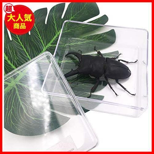 【送料無料】★色:Beetle_Stag1★ 実物大クワガタムシ 昆虫標本 子ども向け 科学STEM教育 ギフト_画像4