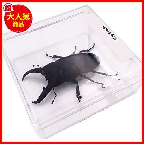 【送料無料】★色:Beetle_Stag1★ 実物大クワガタムシ 昆虫標本 子ども向け 科学STEM教育 ギフト_画像7