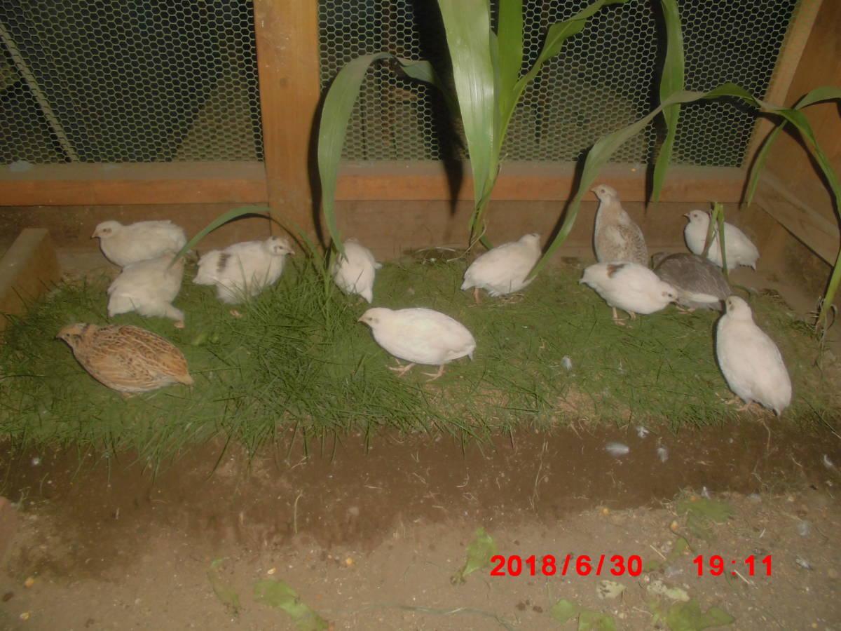 白うずら 色変わりウズラ 有精卵? 種卵  7個!_画像7