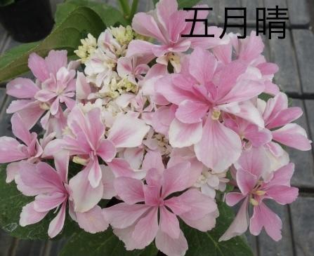 アジサイ『五月晴』剪定済み _画像1