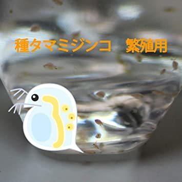 タマミジンコ 培養用 種ミジンコ 生体100匹程度 金魚・めだか・熱帯魚等の生餌 エサ 【クロレラ水 200mlに入れて発送】_画像6