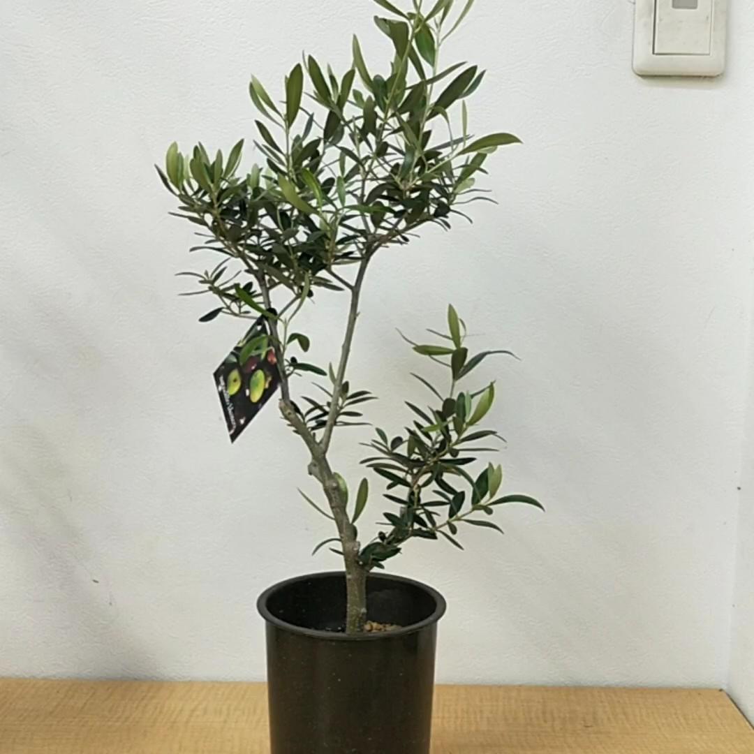 観葉植物 創樹(SOUJU) 幹太 オリーブの木 3.5号 ネバディロブランコ