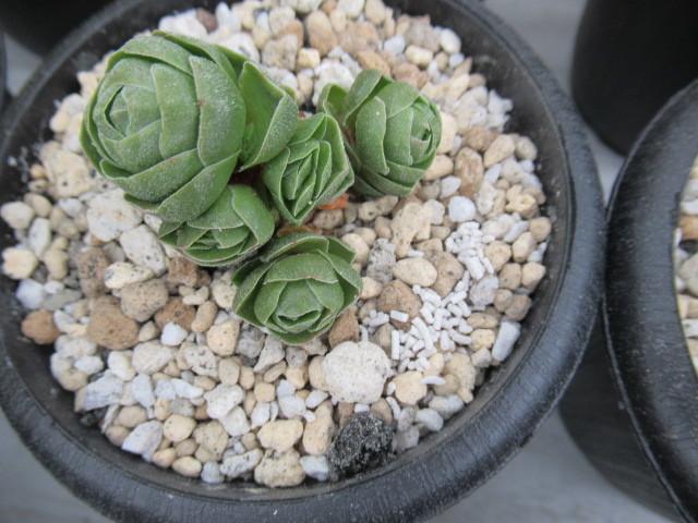 多肉植物 クラッスラ・花椿 群生
