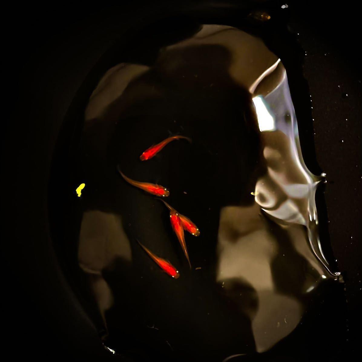 森のメダカさん血統!激レア鬼赤紅帝メダカ■ 有精卵25粒スーパーレッド楊貴妃_画像1