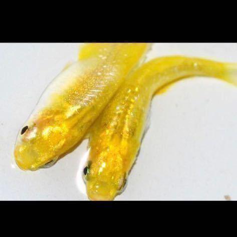 広島プロショップレア個体レモンスカッシュ有精卵30個_画像3