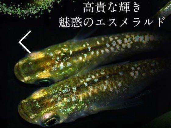 超綺麗グリーン ティアラ 広島プロショップ血統メダカ の有精卵 15個★ めだか 卵 ラメ _画像1