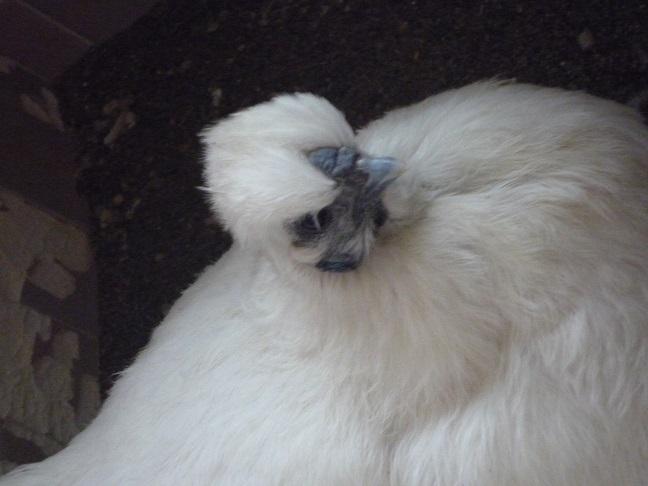 烏骨鶏(うこっけい)有精卵6個 フ_画像1